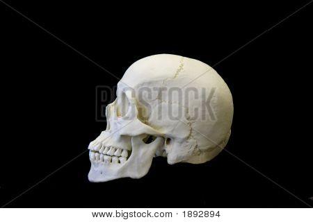 Human Skull Side
