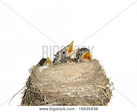 Isolated bird nest and nestling