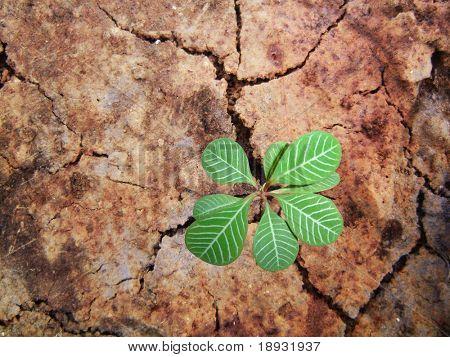 Braird on the cracky soil