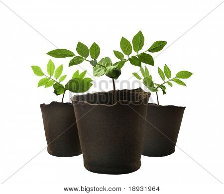 Isolated green plant shoots