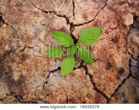 Green plant braird on the cracky soil