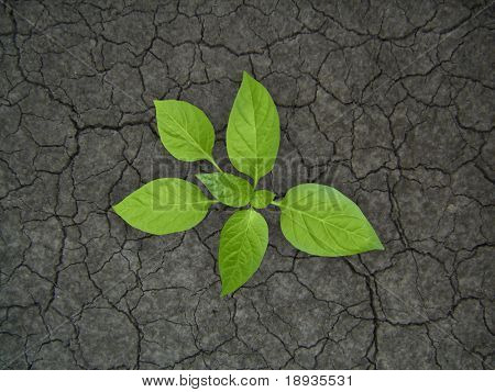 New life, sprout in droughty ground