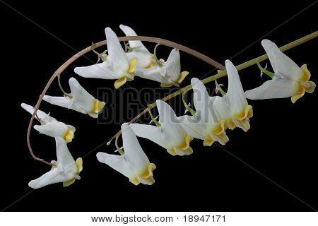 Dutchman's Breechesdicentra Cucullaria