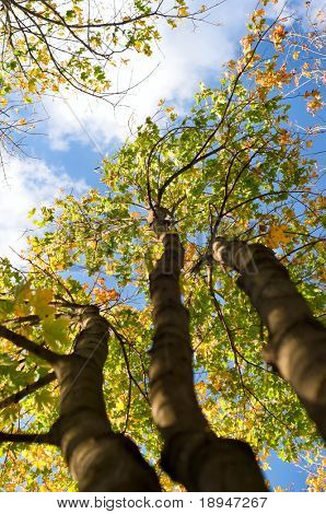 brightly lit three autumn trees and blue sky