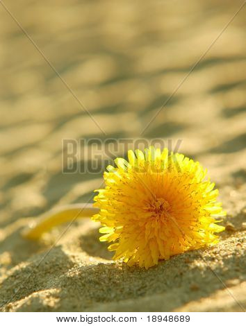 A solitary dandelion on sand