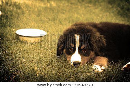 Einen vertrauensvollen Freund. Porträt des Welpen Berner Sennenhund