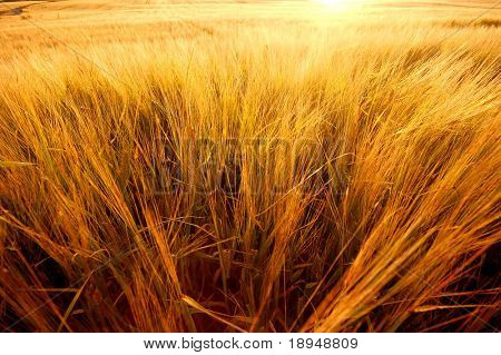 Wheat field ready for harvest background