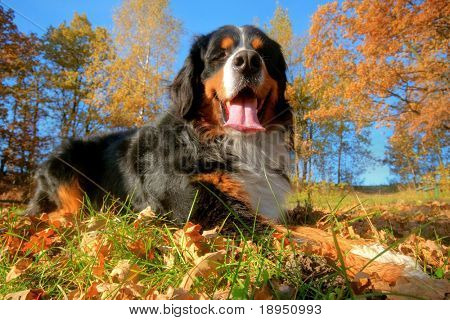 A happy Bernese mountain dog lying on grass during a sunny, fall day