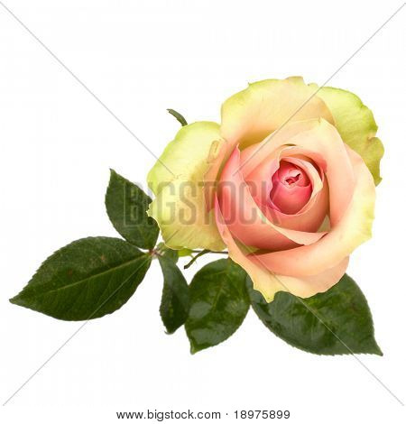 Wunderschöne Rose, isolated on white background