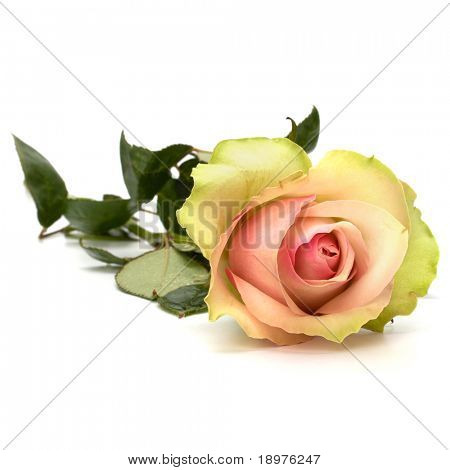 Beautiful rose isolated on white background