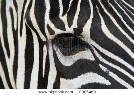 A zebra face up close.  Makes a nice background.