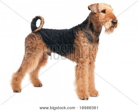 One standing Black brown Airedale Terrier dog isolated on white