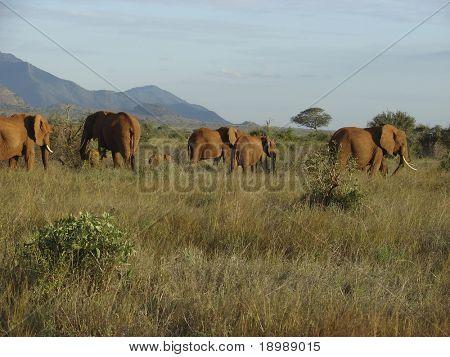 Elephants' migration through an african savanna. Kenyan Mountains and a beautiful sky at the horizon. Tsavo National Park - Kenya 2007.