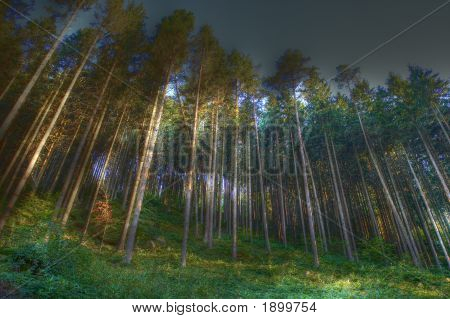 Coniferous Wood With Fog