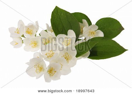 Jasmine flowers isolated in white