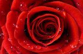 foto of red rose flower  - Close - JPG