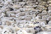 Flock Of Sheep Farm poster