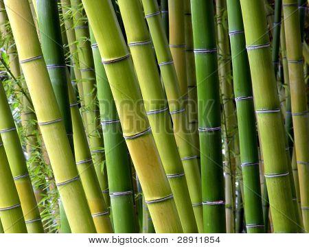 ruhige Bambus