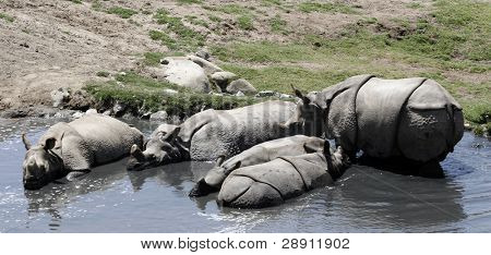 Rhinos Escape The Heat In A Watering Hole