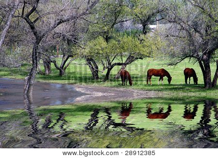 Horses And Trees Reflection. A nature scenic of horses grazing near a reflective riverbed.