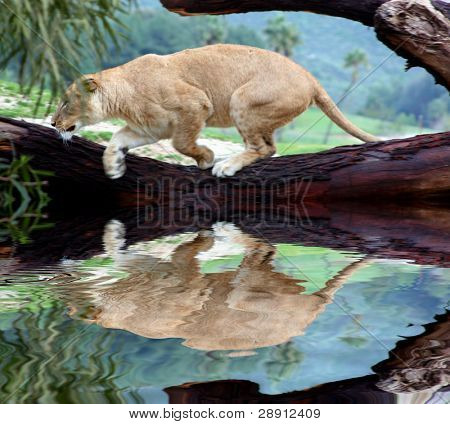 Lion On The Hunt - Lioness jumps off a downed tree branch reflected in a pool of water.