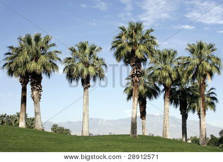 Tall trees In Palm Springs on an immaculately manicured golf course.