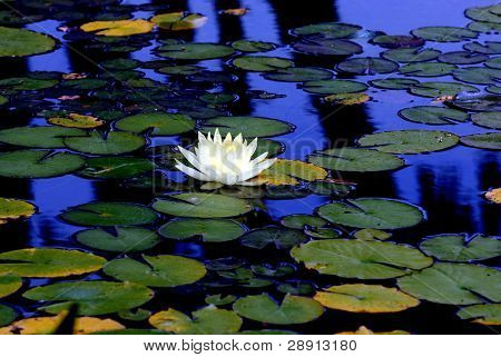 A single white lotus flower atop lily pads in a calm reflection pond