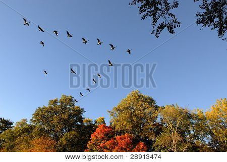 A v-shaped formation of ducks flying south over fall foliage for the winter.
