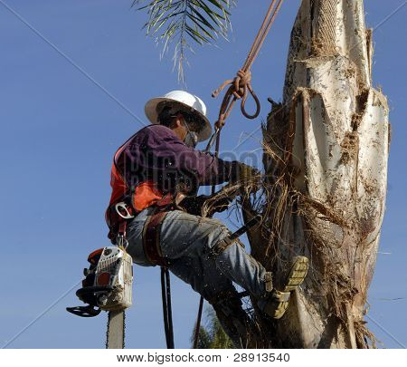 Trimming The Trees - a worker is 30 feet up and grooming a palm tree in sunny Southern California