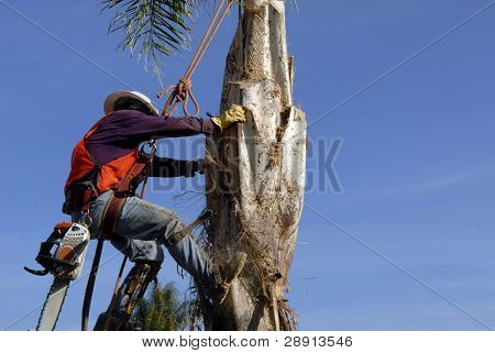 Trimming The Palm Tree - a worker scales 30 feet up a tree to do maintenance.