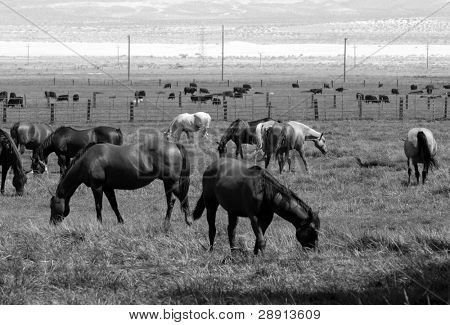Field Of Horses - black and white image of Dozens of horses in a field in the California High Sierras