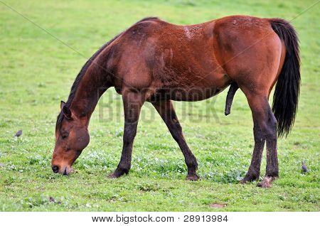 Hung Like A Race Horse. A young male stallion feeds on grass.