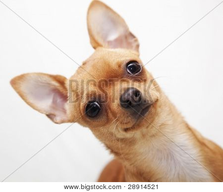 Little chihuahua portrait over white background.