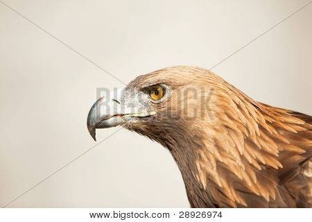 Golden eagle, isolated profile view .