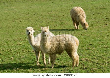 Curious Llamas Eating Grass
