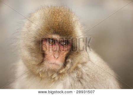 Young japanese macaque portrait with sad expression