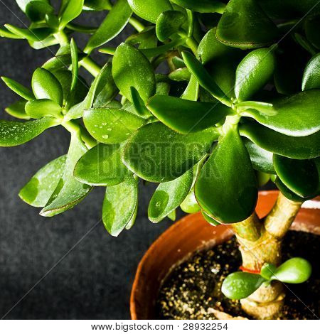 Macro Photo Of Money Tree Leafes