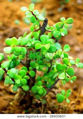 Portulacaria afra - elephant bush in it's natural environment