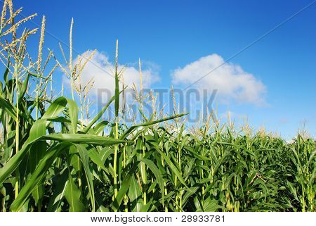 maize against blue sky