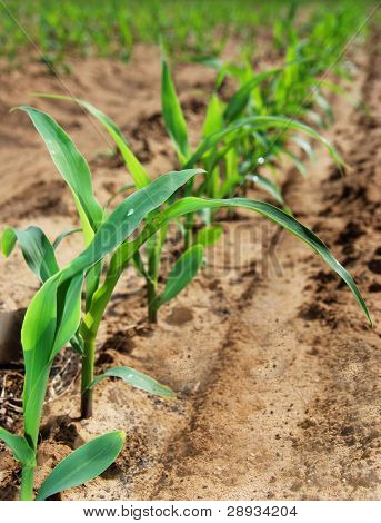 Young maize plants in a row