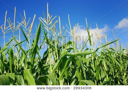 Young green maize plants