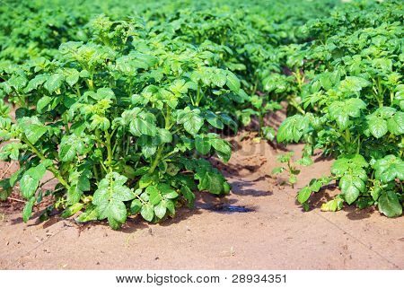 Young potato plants on the field