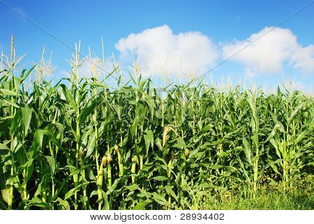 Healthy young maize plants against blue sky