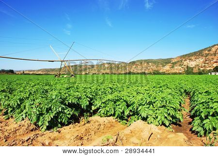 Potato field with irrigation system in the background