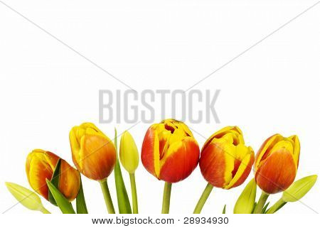 Red and yellow tulips on white background with copy space