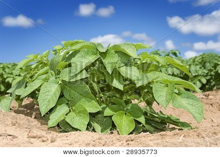 Healthy young potato plant on the field