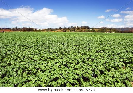Healthy young potato crop on a farm