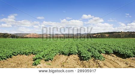Green potato field with beautiful sky