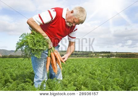 Carrot farmer in a carrot field