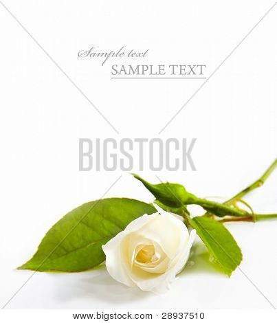 One white rose on a white background with space for text